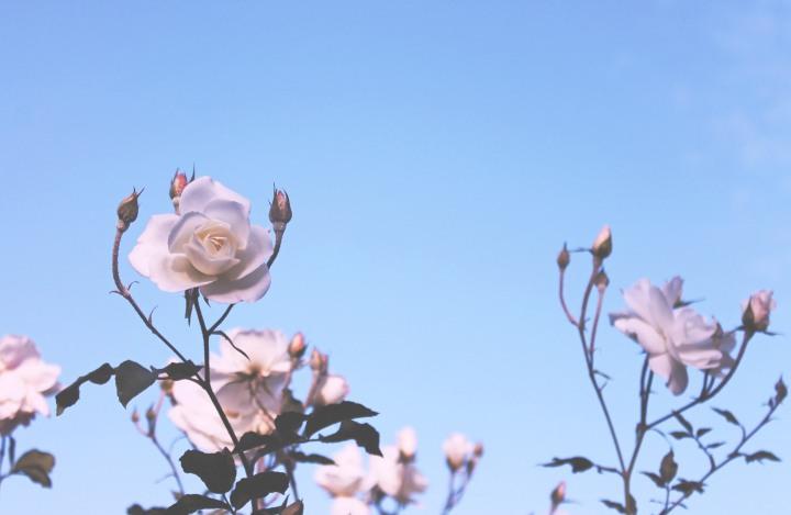LA Pattern Play Roses